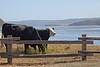 Cows6984