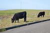 Cows2251