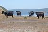 Cows6959