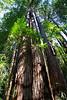 Redwoods6116
