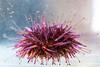 Urchin0861