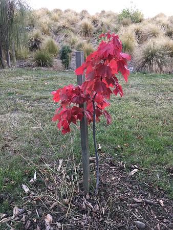 A rather sad fall maple