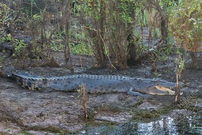 Kakadu National Park, Yellow Water Billabong - saltwater crocodile