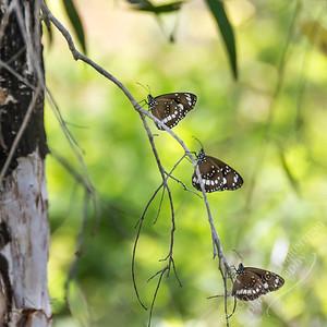 Kakadu National Park, Boulder Creek trail - butterflies