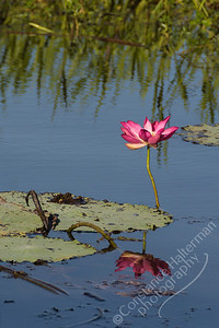Kakadu National Park, Yellow Water Billabong - water lily