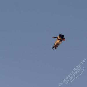 Kakadu National Park, Yellow Water Billabong - Magpie Geese