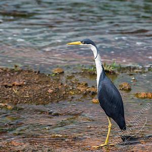 Fogg Dam - Pied Heron