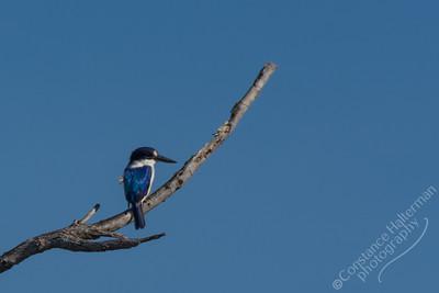 Kakadu National Park, Yellow Water Billabong - Forest Kingfisher