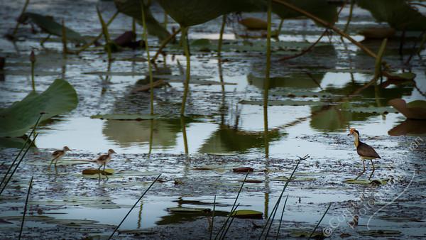 Kakadu National Park, Mamukala Wetlands - Comb-Crested Jacana and chicks