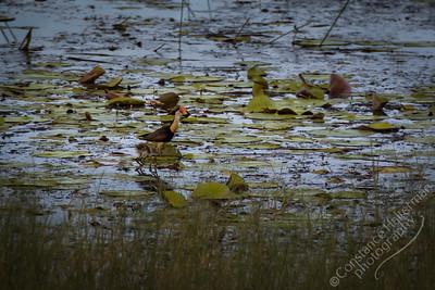 Kakadu National Park, Malukala Wetlands - Comb-crested Jacana and chick