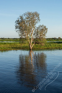 Kakadu National Park, Yellow Water Billabong - tree