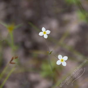 Kakadu National Park, Gubara Pools trail - wildflowers