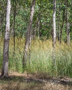 Kakadu National Park, Nourlangie Rock walk - Speargrass and eucalyptus