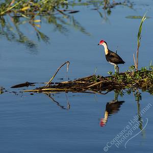 Kakadu National Park, Yellow Water Billabong -  Comb-Crested Jacana