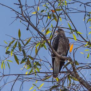 Kakadu National Park, Yellow Water Billabong  - Whistling Kite