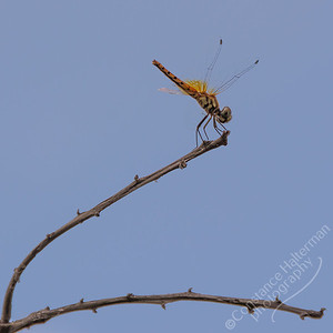 Kakadu National Park, Gubara Pools trail - dragonfly