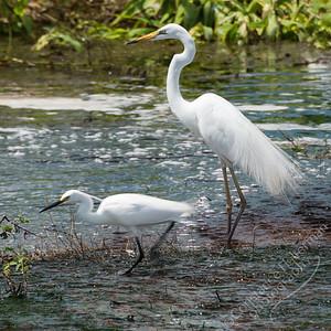 Fogg Dam - egrets