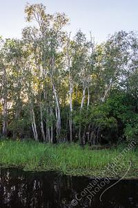 Kakadu National Park, Yellow Water Billabong - Paperbark eucalyptus