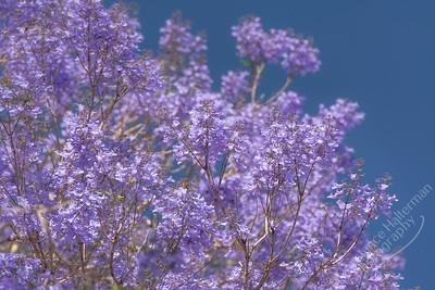 Brisbane - Jacaranda flowers