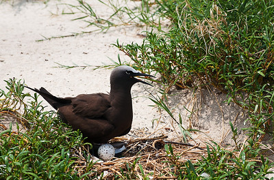 Michaelmas Cay, Great Barrier Reef - Common Noddy and egg