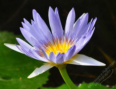 Brisbane - flower