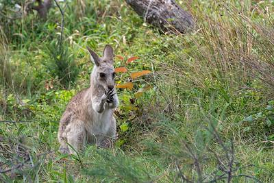 North Stradbroke Island - kangaroo