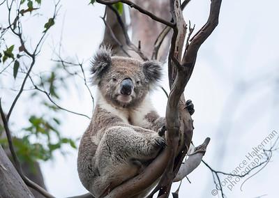 Cape Otway - koala