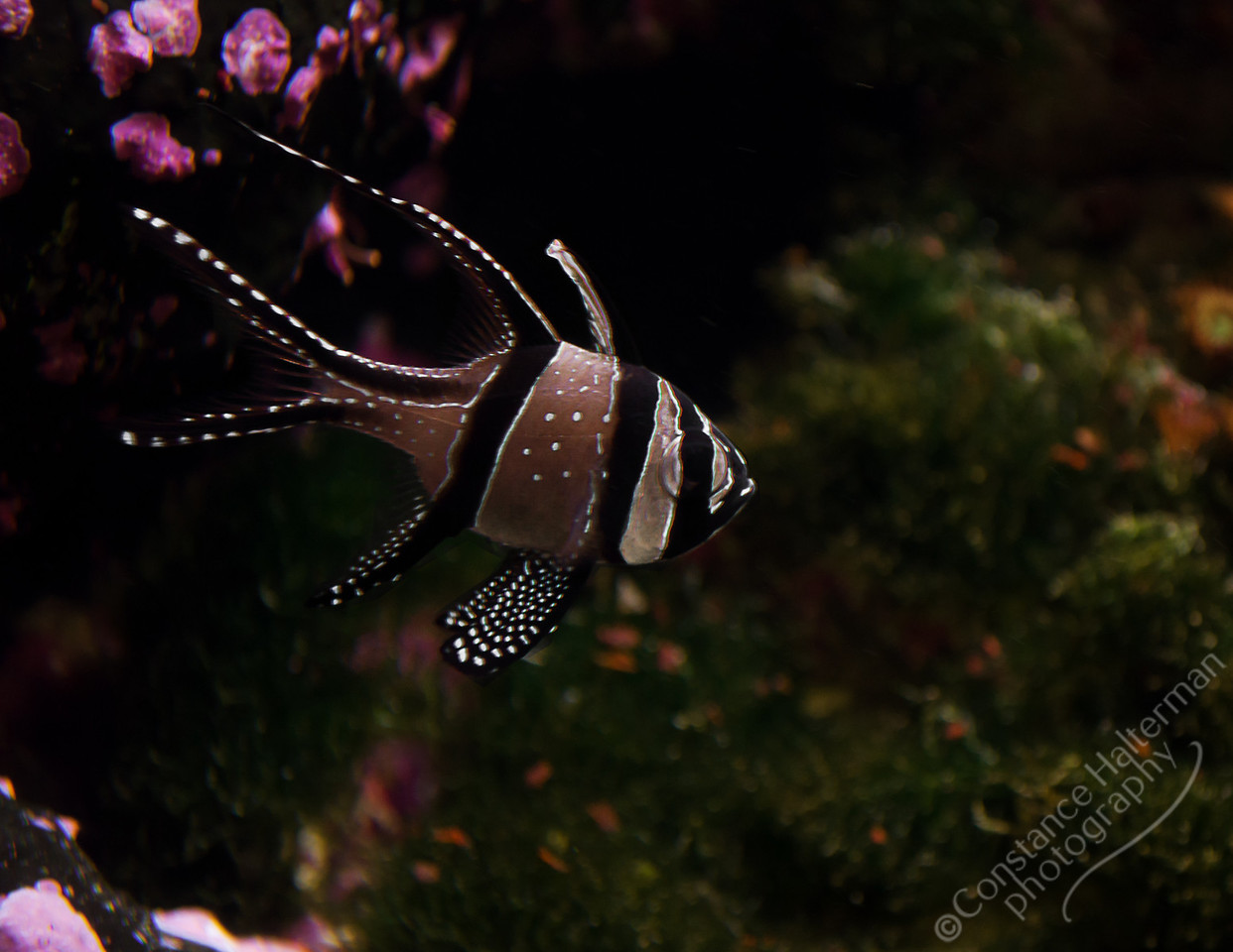 Melbourne Aquarium, Melbourne - Cardinal fish