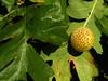 Oak Leaf Gall
