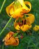 Columbia Lilies  (Lilium columbianum)