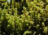 Wakeena Trail Mosses