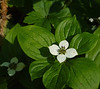 Bunchberry  (Camus canadensis)