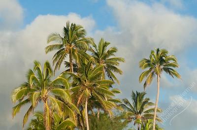 Rarotonga - coconut palms