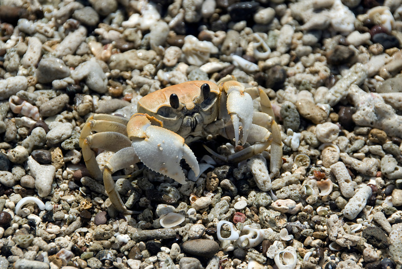 Crustacean on the beach - Yasawa Islands, Fiji