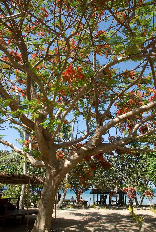 Tree in Yasawa Islands, Fiji