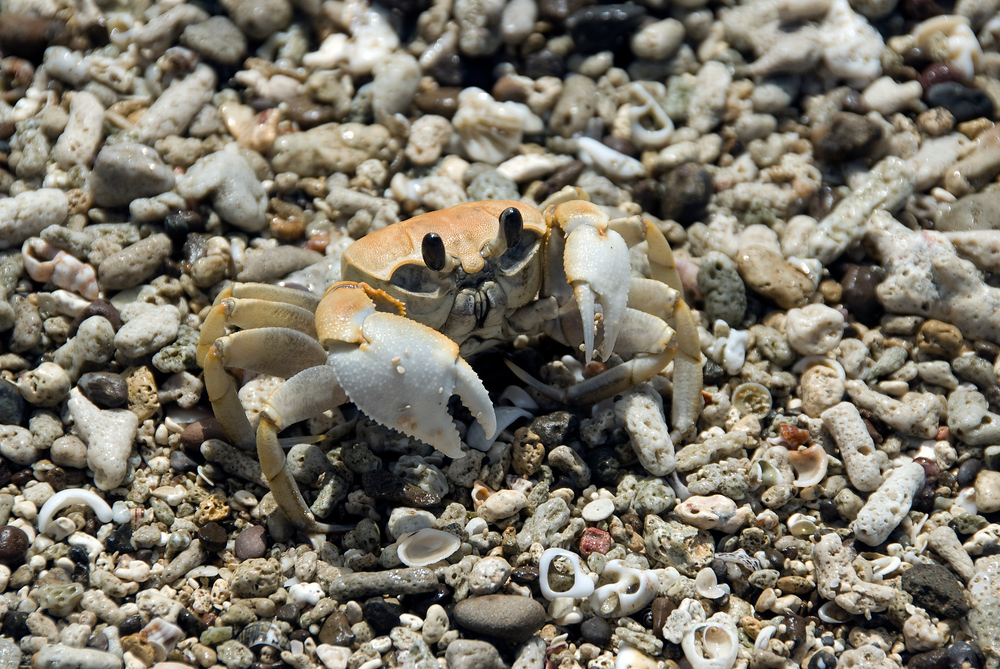 Crab on the beach, Navati Island, Fiji