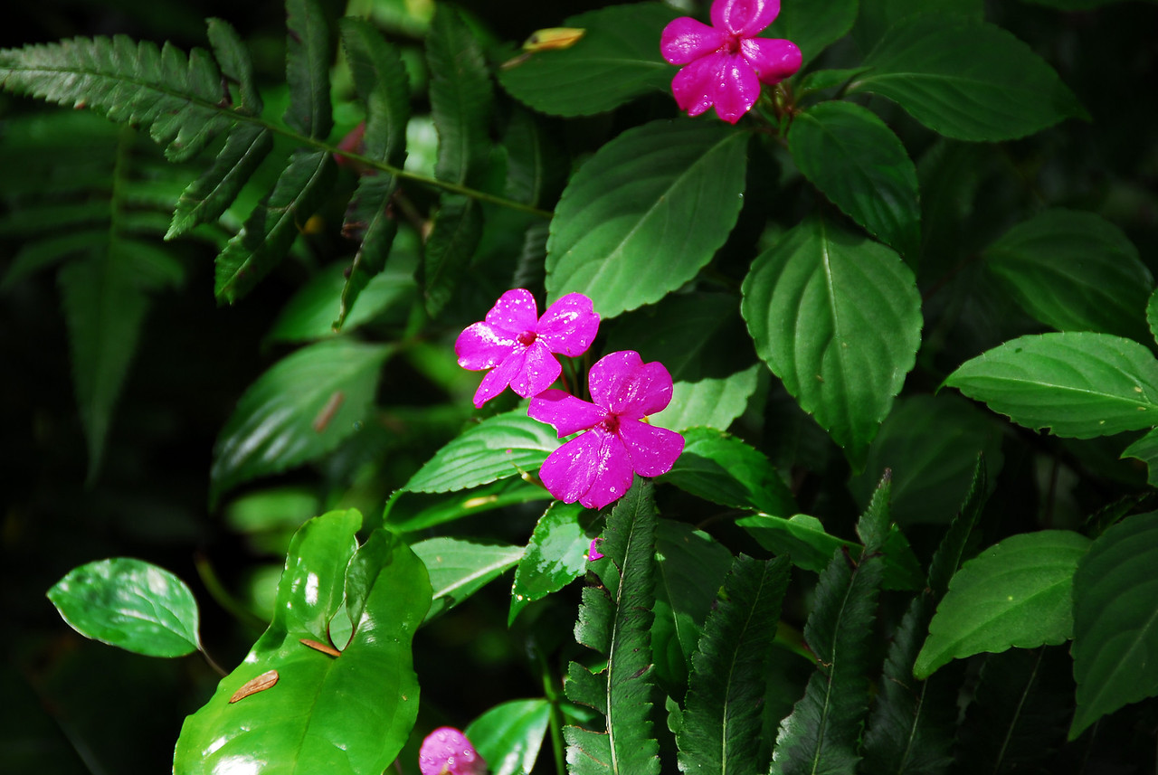 Flowering plant in Akaka Falls State Park, Hawaii