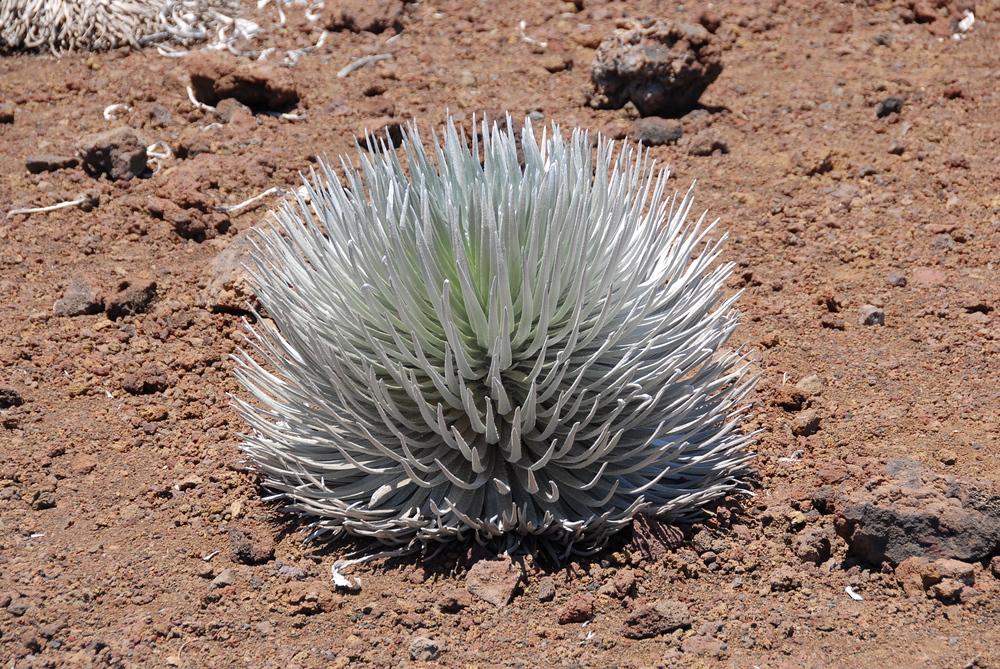 Silversword plant on Haelakala, Maui, Hawaii