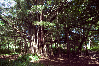 Banyan tree in Hana, Hawaii