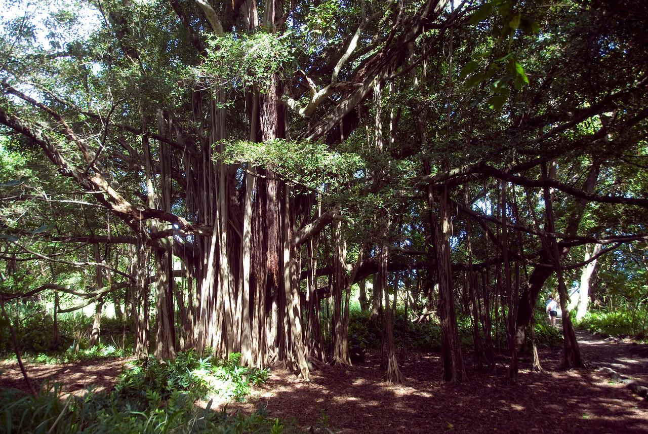 Banyan tree in Hana, Hawaii