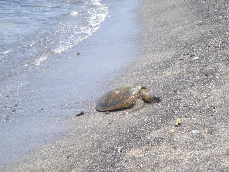 Turtle on the beach - Hawaii