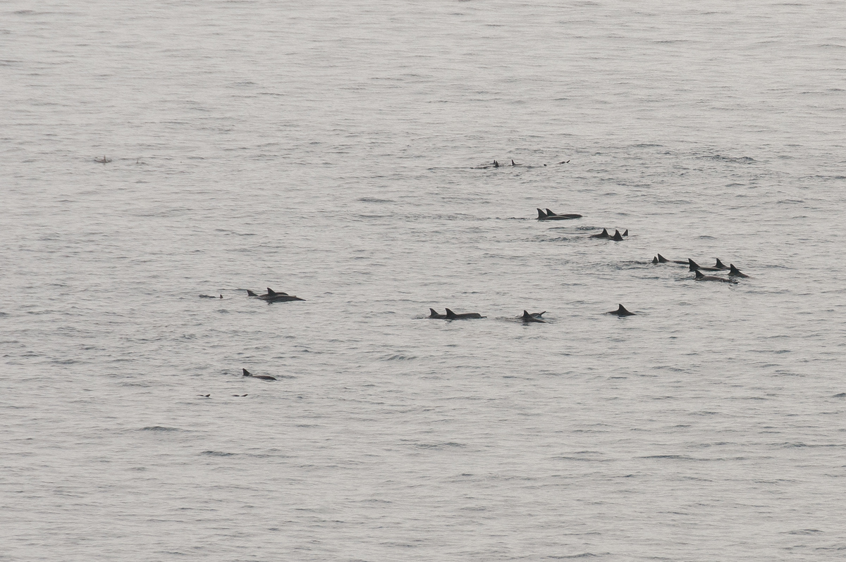 Dolphin Pod off Coast of Lanai