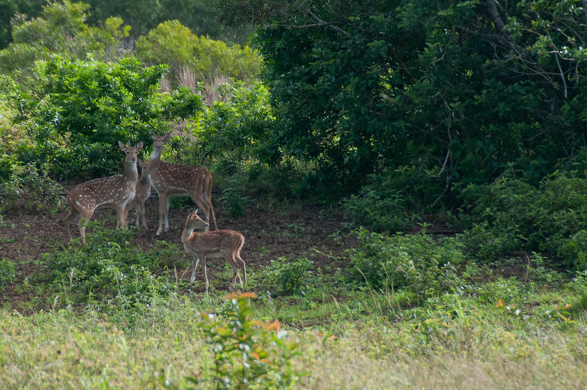 Axis Deer in Lanai