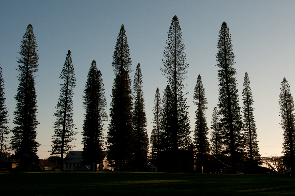 Cook Island Pine Trees on Lanai