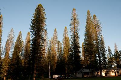 Pine trees on Lanai