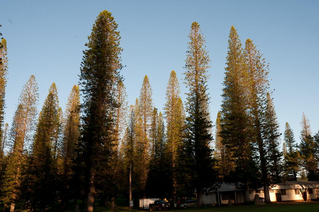 Pine Trees of Lanai