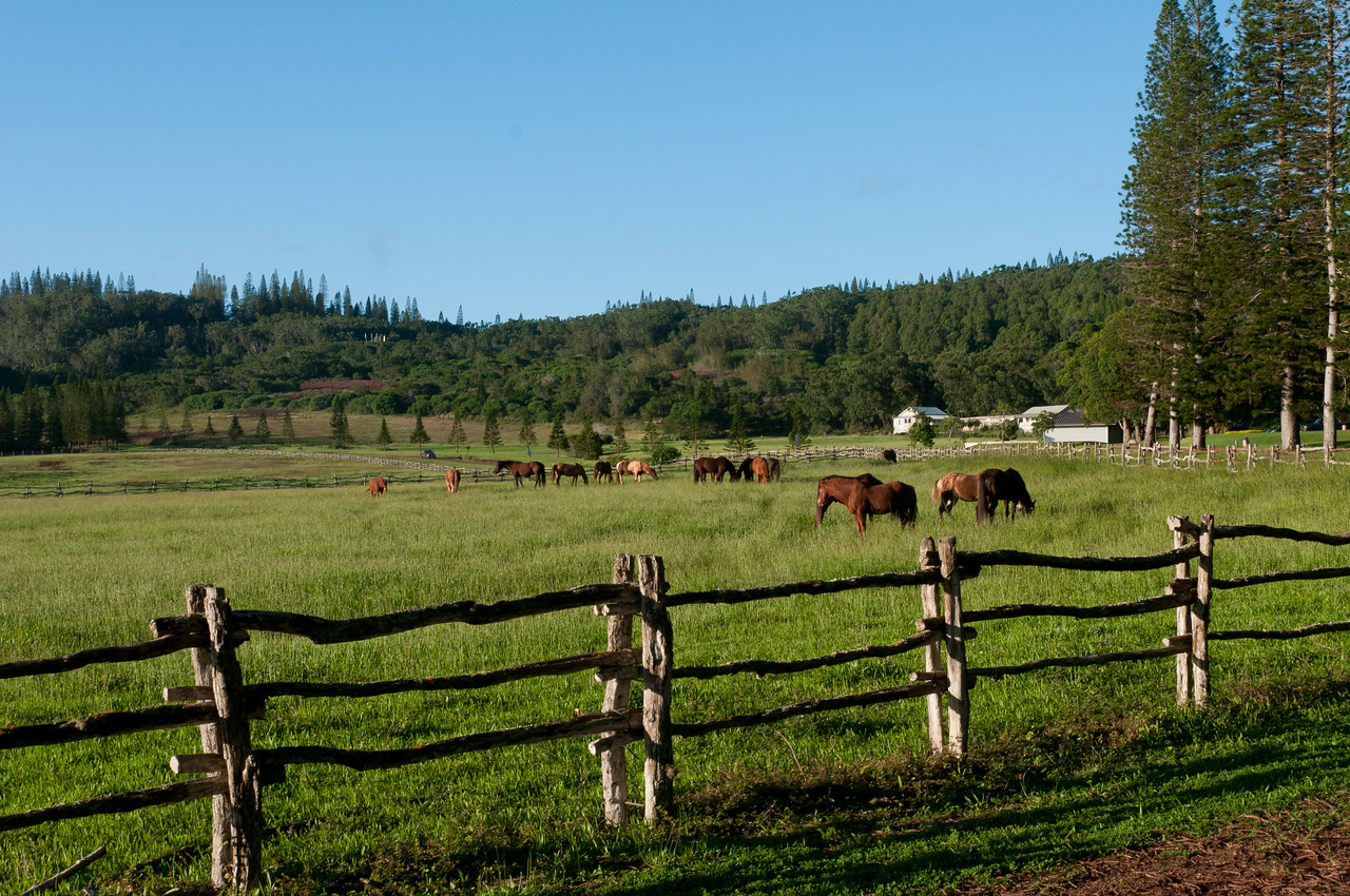 Horses grazing in Lanai, Hawaii