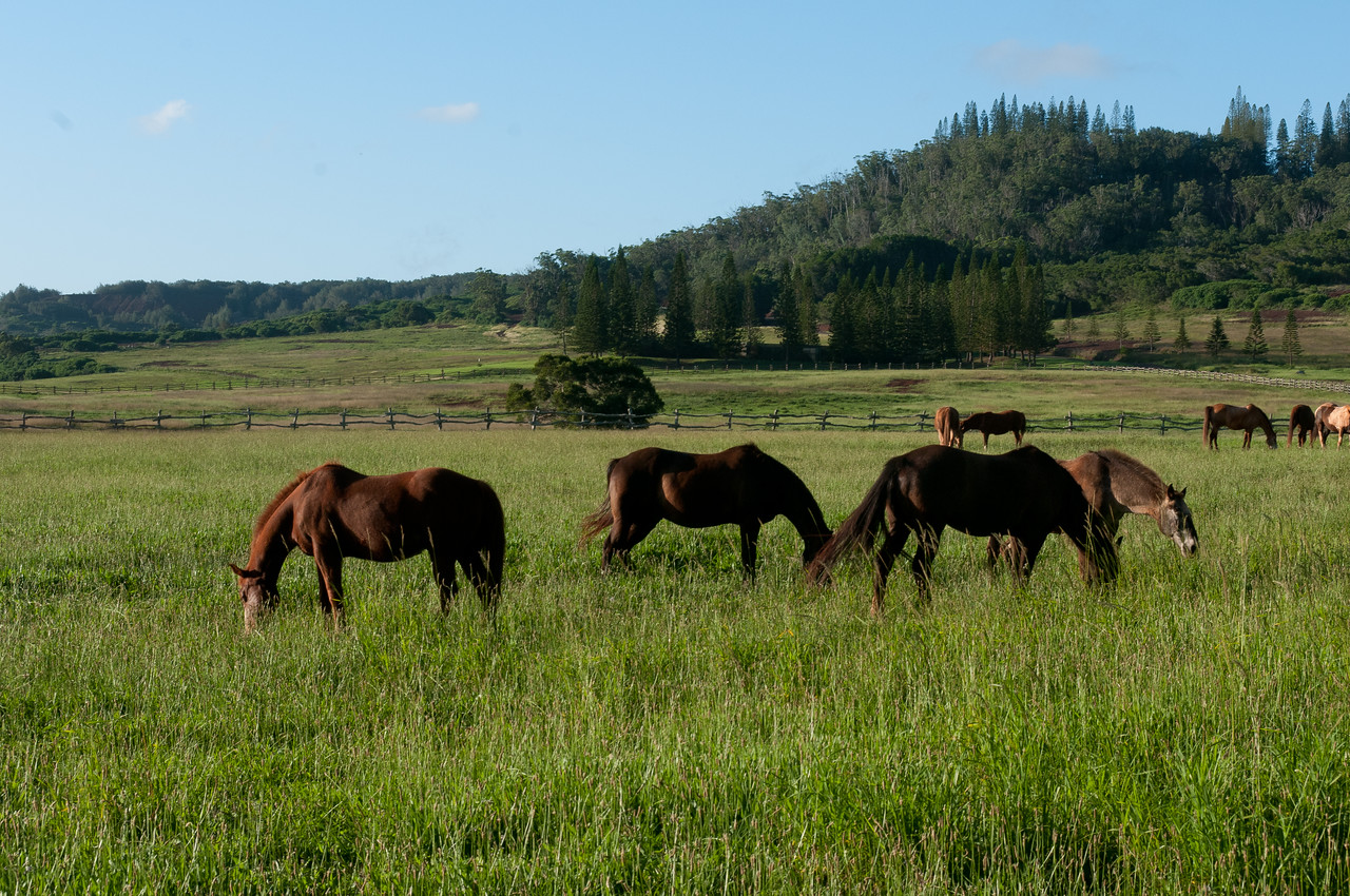 Horses grazing in Lanai, Hawaii