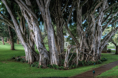 Large tree in Lanai, Hawaii