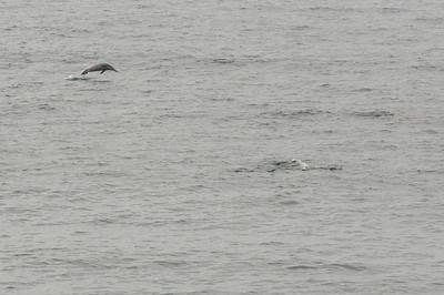 Dolphins swimming in Lanai, Hawaii